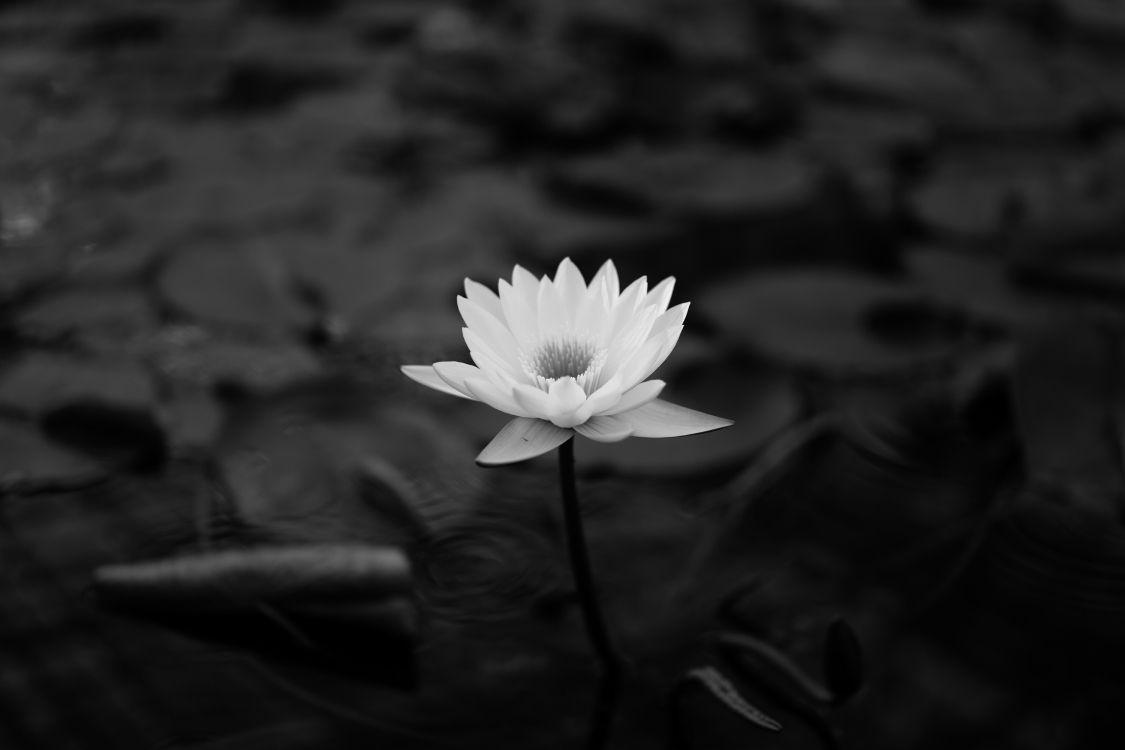 черно белое фото цветка лотоса хорошего разрешения плитка