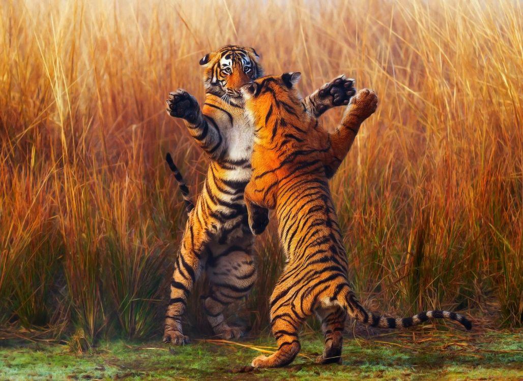 Обои бенгальский тигр, кошачьих, большая кошка, тигр, живая природа в разрешении 1920x1400